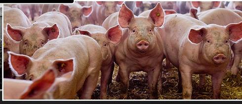 cochonnailles-du-haut-bois-accueil-porc_edited.jpg