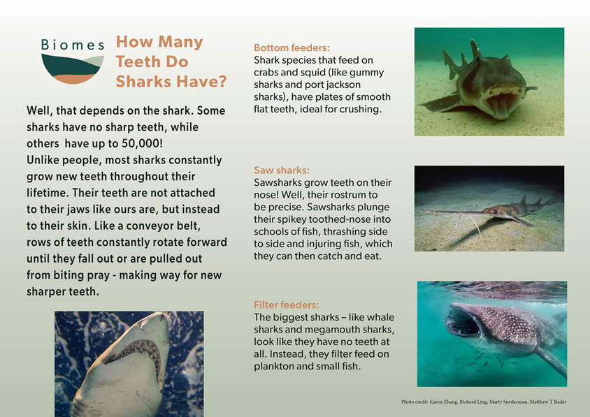 A9 Kaya how_many_teeth_do_sharks_have_po