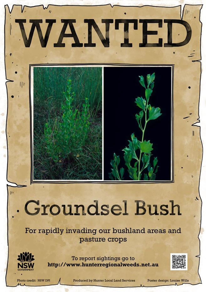 Groundsel Bush