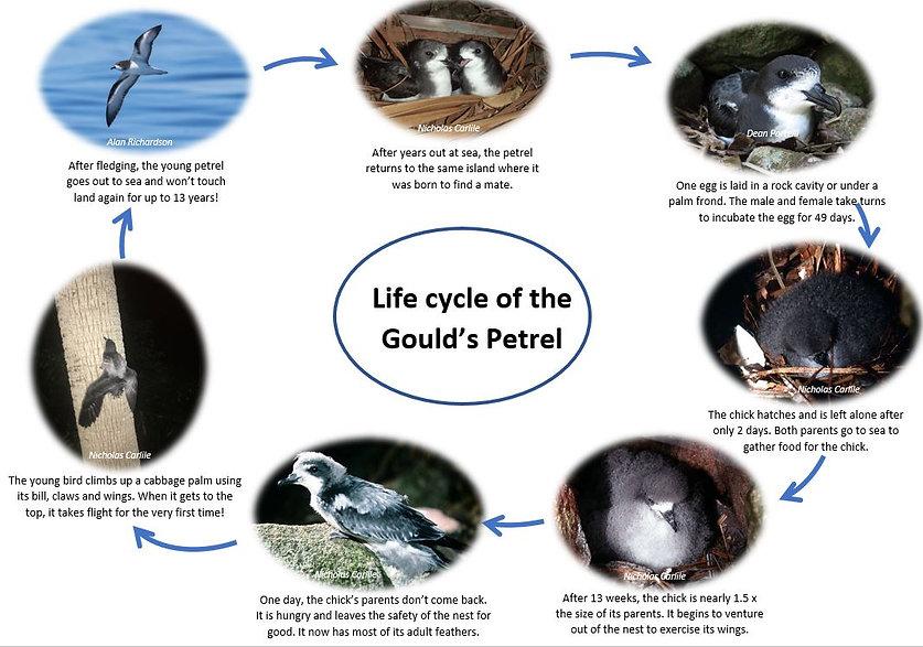 Gould's petrel life cycle.JPG