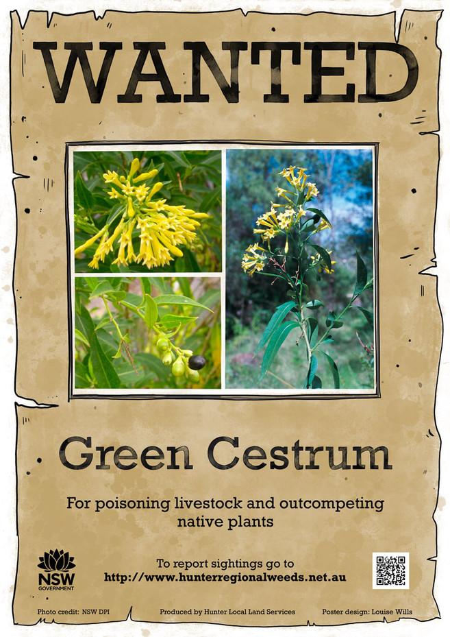 Green Cestrum