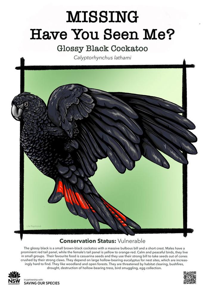 Glossy_Black_Cockatoo_DPIE_L.jpg_web.jpg