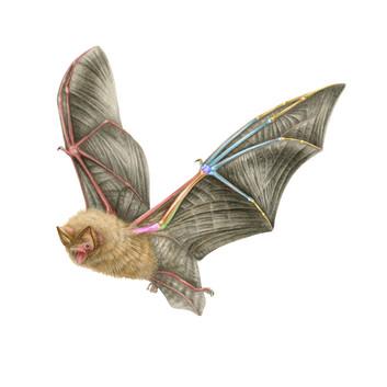 Hardwickes Wooly Bat by Puck Van der Laan