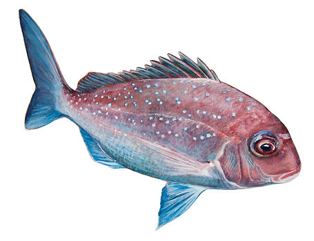 A1-juvenille_snapper_decal_web.jpg
