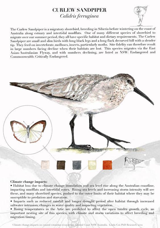 Curlew Sandpiper by Linda Cox