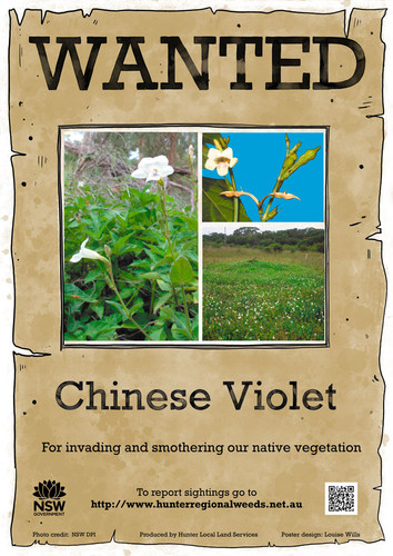 Chinese Violet