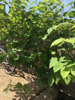 japanese knotweed treatment Wimbledo