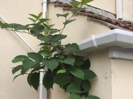 Selling your home with Japanese knotweed