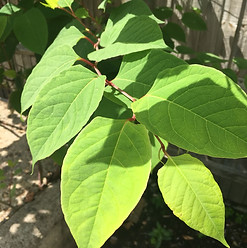 knotweed treatment