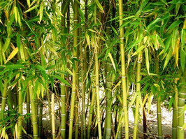 bamboo removal and control