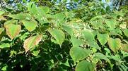 knotweed 4.jpg