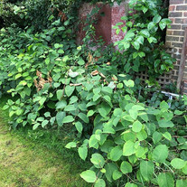 Knotweed removal and Survey with 5 year treatment pl