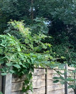 Knotweed treatment and Survey Redhill Su