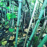 Japanese knotweed Survey for a house buy