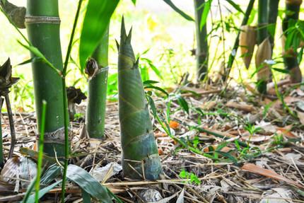 bamboo-removal-bamboo-management-bamboo-