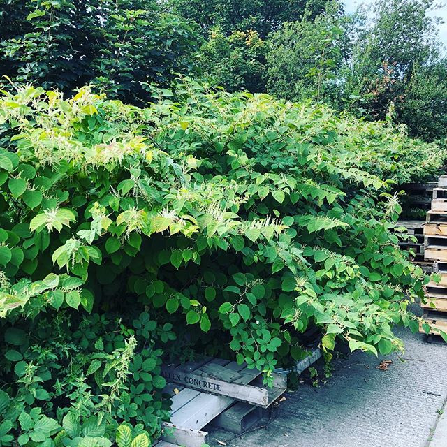 Some pictures of August knotweed jobs st
