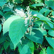 Knotweed Survey and a 5 year treatment p
