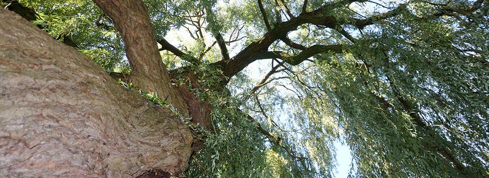 Dit is een van de oudste bomen aan de Heemraadssingel. Ik hou van oude bomen en vind het bijzonder om zulke oude bomen in Rotterdam te hebben. Ik zie gezichten in de boom. (Jolanda)