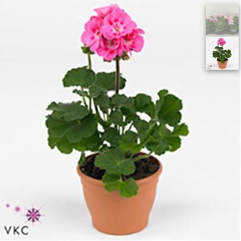 PINK Zonal Geraniums x12 Pots