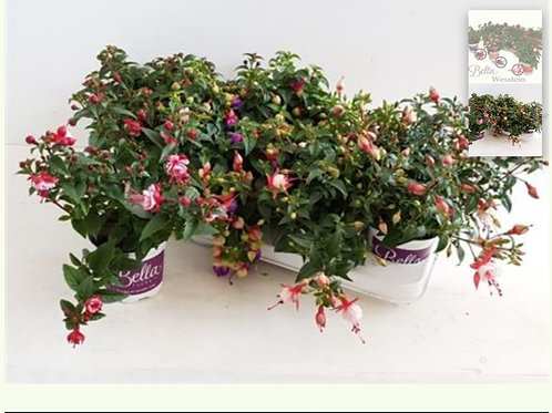 Fuchsia Plants x 12 pots