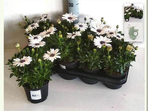 White Osteospurnum x6 pots