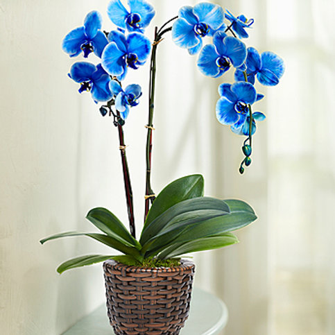 Blue Orchid Bouquet