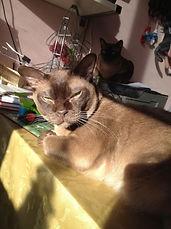Бонзо бурманский кот