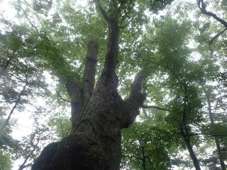 [公募プラン]オオヤマレンゲ咲く和佐又山と巨樹めぐり&笙の窟訪問