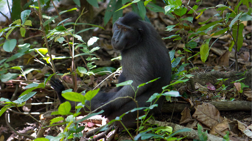 Celebes Crested Black Macaque monkey, Tangkoko Park, North Sulawesi, Indonesia