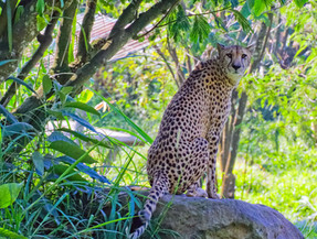 Leopard, Tangkoko Park, North Sulawesi, Indonesia