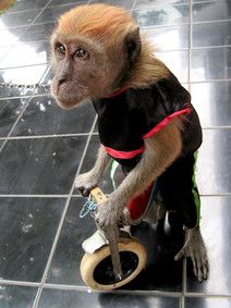 Jakarta Performing Street Monkey, Indonesia