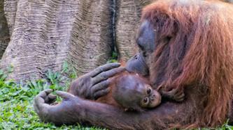 Orangutan, Taman Safari Puncak Indonesia