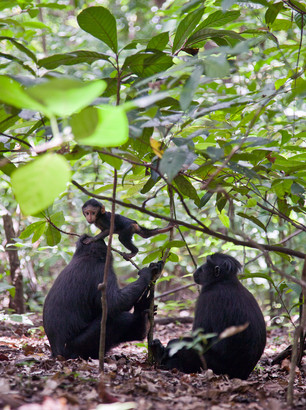 Celebes Crested Black Macaque monkey, Tangkoko Park, North Sulawesi, Indonesia