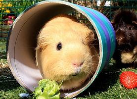 guinea pig 1.jpg
