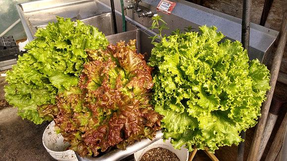 Lettuce all varieties
