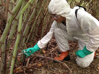 Is Knotweed reducing your property value?