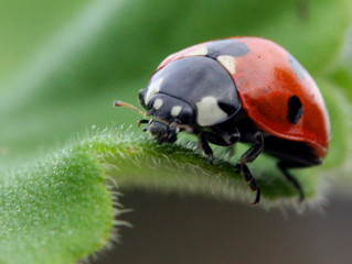 TREE FELLA FIGHTS GARDEN PESTS THE NATURAL WAY – WITH LADYBIRD LARVAE