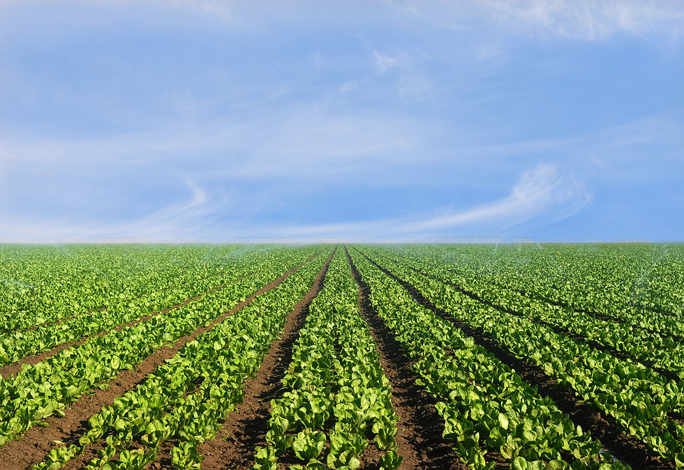 Lush agricultural field of lettuce on a
