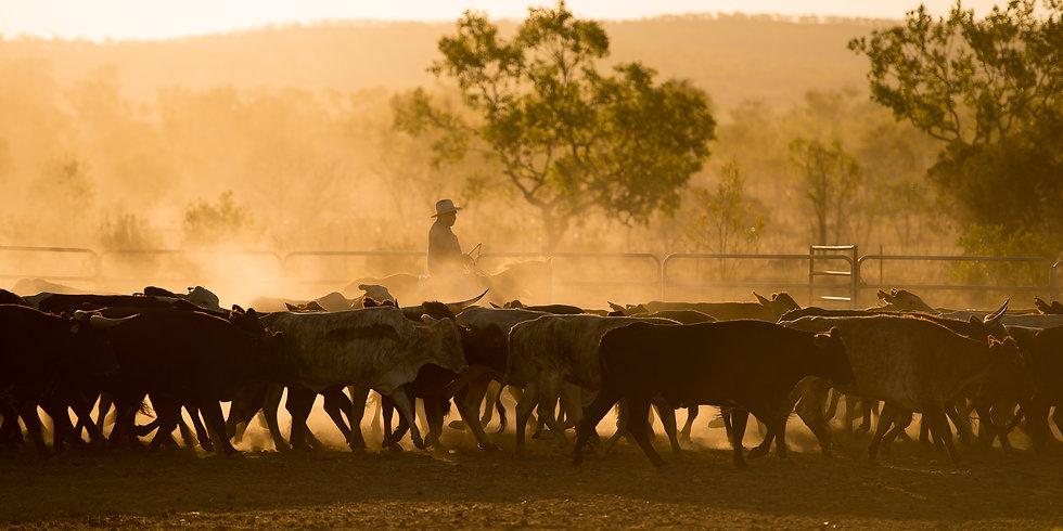 Cattle Muster.jpg