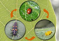 Collector cards ladybug.jpg