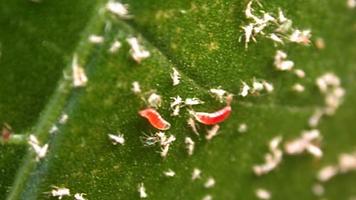 larvae.png