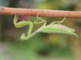 praying-mantis-3159423_1920.jpg
