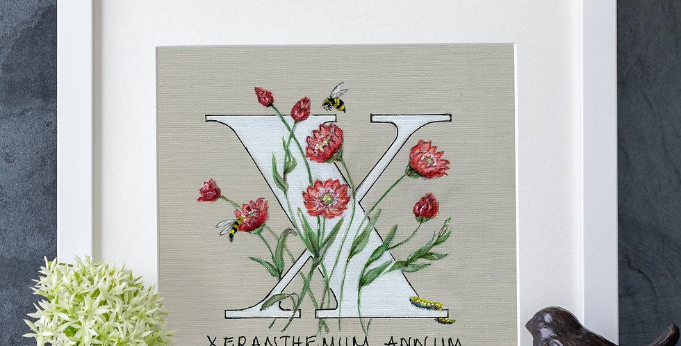 X (Xeranthemum)
