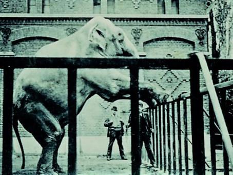 Aten de Gentenaars de olifant uit hun dierentuin op?