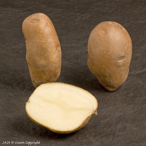 Golden Wonder Seed Potato
