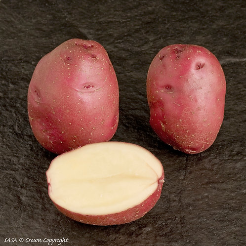 Red Duke of York Seed Potato