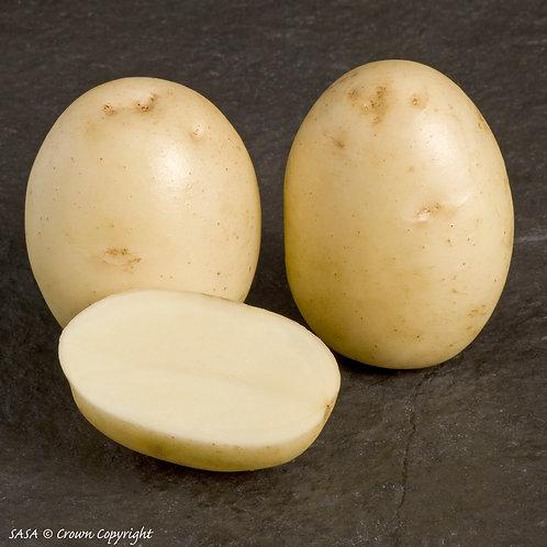 Winston Seed Potato