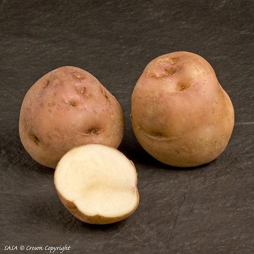 Epicure Seed Potato