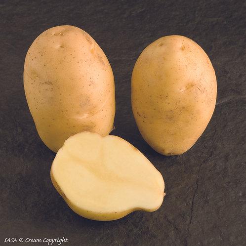 Nicola Seed Potato