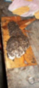 Bigfoot track Monsterlanby Ronny LeBlanc